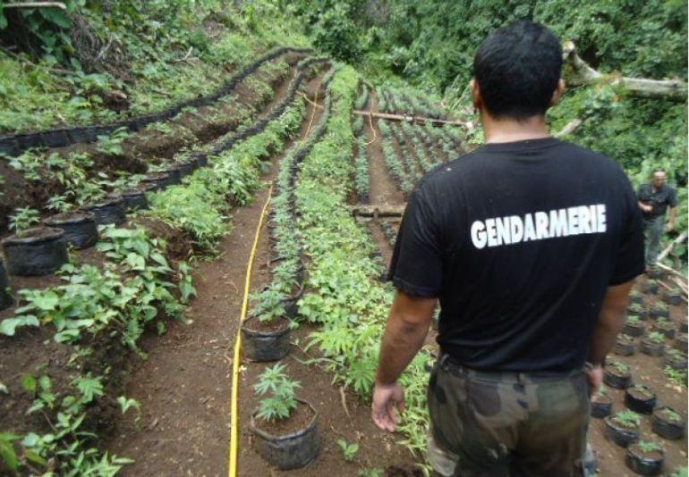 7.900 pieds découverts : deux planteurs de Taha'a incarcérés à Nuutania