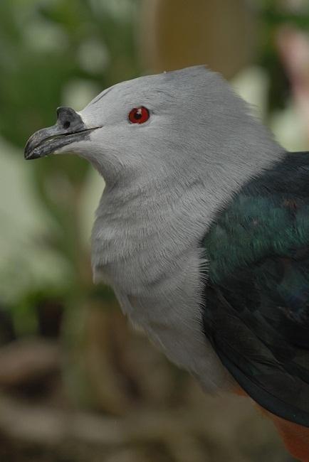 Le Rupe (Ducula aurorae) oiseau aujourd'hui restreint à l'unique île de Makatea (Crédit photo : Fred Jacq)