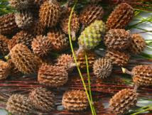 Les plantes tinctoriales de Polynésie