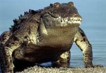 Capture d'un crocodile qui semait la terreur à Gaza