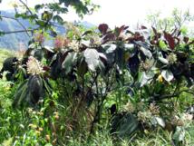 Un Raid contre le myconia à Mataiea