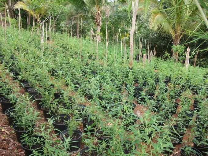 Toahotu : découverte de 1.050 plants de Paka