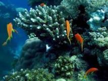 Le génome du corail dans le viseur de chercheurs australiens et saoudiens