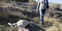 Dans le haut pays grassois, lutte à mort entre loups et bergers