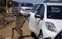 Afrique du Sud: les babouins du cap pourchassés au paintball