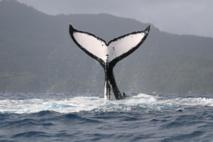 Baleines et éco-tourisme de retour à Rurutu