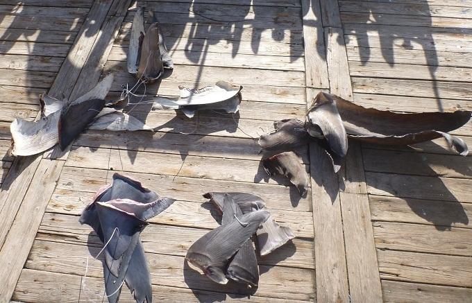 Le shark finning ou la récupération des ailerons de requins est strictement interdit.