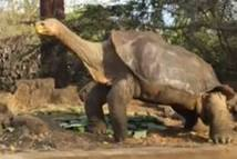 Une espèce de tortue, réputée éteinte, refait surface en Equateur