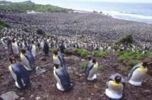 Dans les îles australes, des millions de manchots et une molécule inattendue