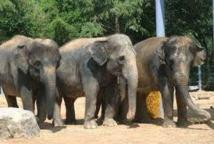 Un zoo néerlandais donne gratuitement 4 éléphants belliqueux