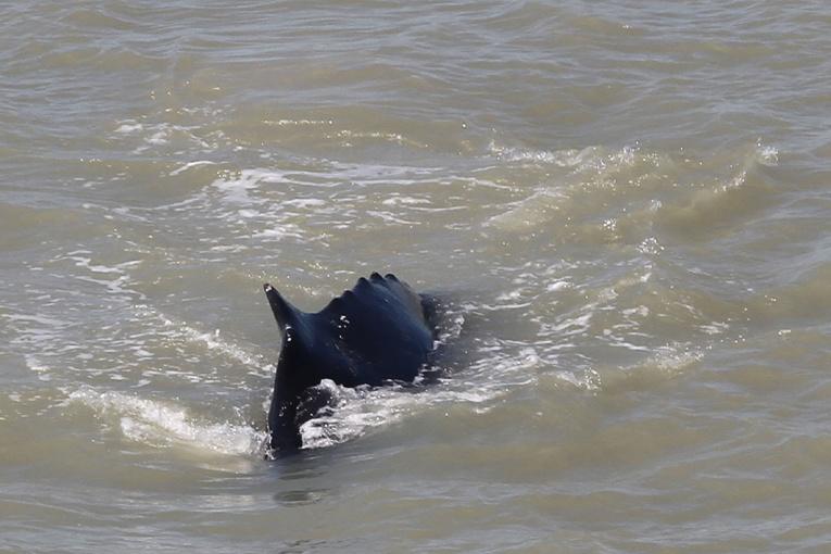 Australie: des baleines à bosses s'égarent dans une rivière infestée de crocodiles