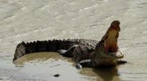 Un crocodile emporte un enfant de 12 ans en Australie