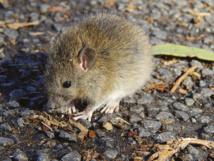 Sur l'île d'Ata, les seuls mammifères encore présents sont des rongeurs, des rats de l'espèce polynésienne Rattus exulans, sans doute arrivés avec les premiers occupants tongiens.