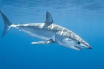 Le mako, un requin protégé comme les autres