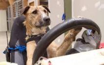 En Nouvelle-Zélande, des chiens prennent le volant