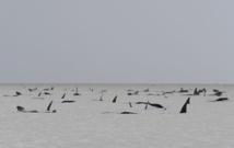 """Australie: hécatombe de """"dauphins-pilotes"""" coincés dans une baie"""