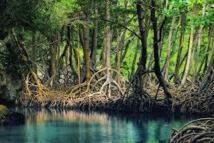 Les mangroves à l'honneur cette semaine en Nouvelle-Calédonie