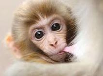 Canada: un bébé singe en fuite devient une célébrité sur internet