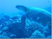 Tortues, requins, baleines : vers un sanctuaire polynésien