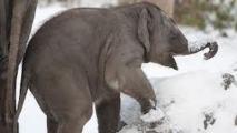 Deux éléphants survivent à un incendie et au gel grâce à de la vodka