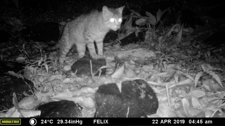 Les chats sauvages menacent la faune polynésienne