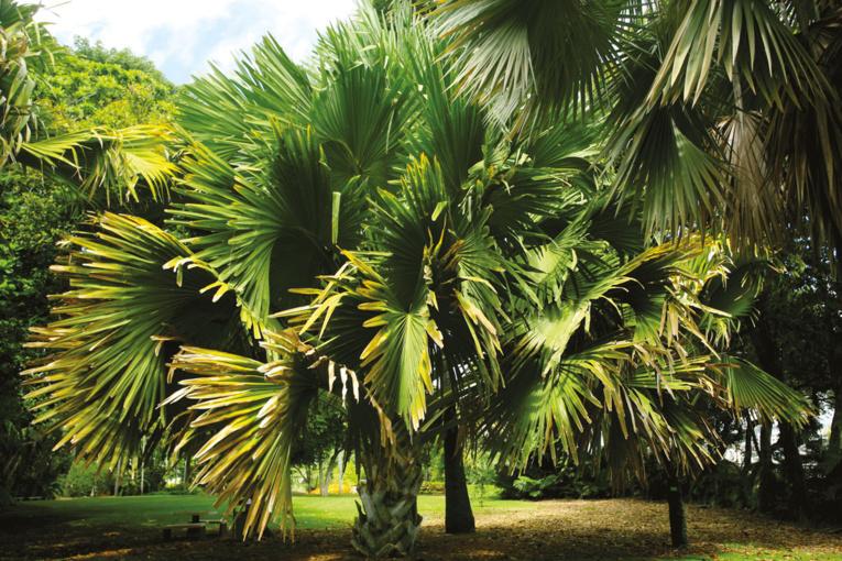 Ce palmier géant (talipot palm) répond au nom scientifique de Corypha umbraculifera (Arécacées). Cet immense latanier est originaire d'Inde et du Sri Lanka.