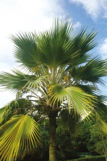Le fameux et célèbre loulu de Hawaii, seul palmier endémique de l'archipel, que découvrirent les Polynésiens en colonisant ces îles (Pritchardia lowreyana).