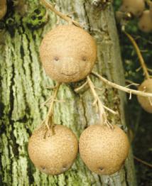 """Gros plan sur trois petites créatures dont celle du haut ressemble à s'y méprendre à un """"smiley"""". Il s'agit des fruits du Couroupita guianensis, l'arbre """"boulets de canons""""."""