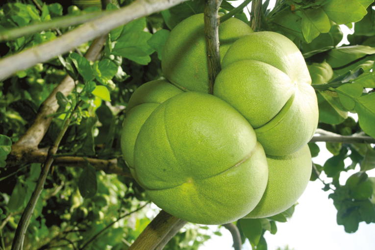 Citrus maxima (le pamplemoussier de Sarawak) est un très bel arbre produisant, dans le cas présent, une variété rose de pamplemousses. Les fruits sont si gorgés de jus et de chair qu'ils semblent prêts à exploser.