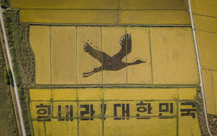En Corée du Sud, des rizières deviennent des oeuvres d'art
