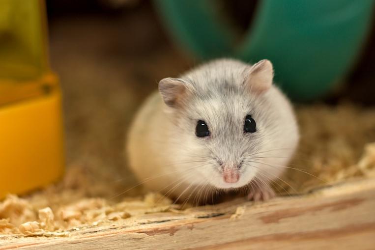 Covid-19: résultats encourageants d'un antimicrobien sur des animaux