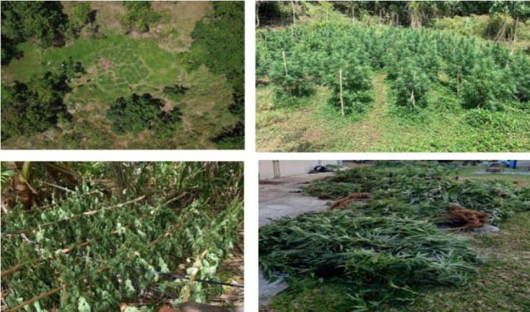 2 898 plants de cannabis saisis à Huahine