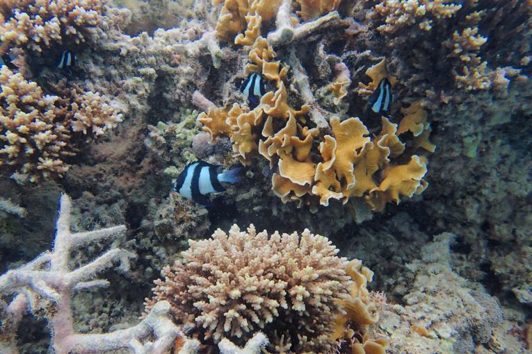Australie: la moitié des coraux de la Grande Barrière ont péri en 25 ans