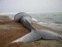 Une baleine de 9 mètres de long s'échoue sur une plage de New York