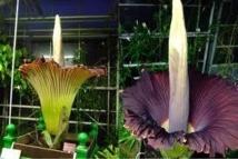 Brésil: la plus grande fleur du monde au parfum peu banal en floraison