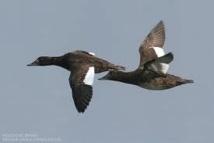 Vol de macreuses brunes