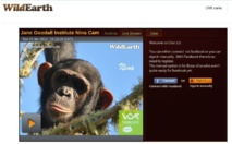 Un petit chimpanzé doit naître en direct sur l'internet