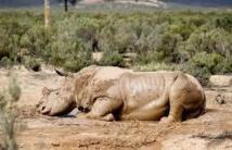 Le massacre des rhinocéros se poursuit en Afrique du Sud