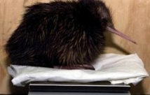 Un Néo-Zélandais veut éradiquer le chat pour sauver le kiwi