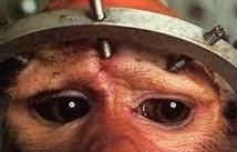 USA: les chimpanzés quasiment plus utilisés pour la recherche médicale