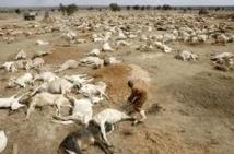 Des troupeaux décimés par la secheresse au Kenya
