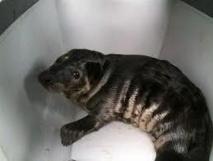 Un bébé phoque épuisé par les vagues se réfugie dans un jardin