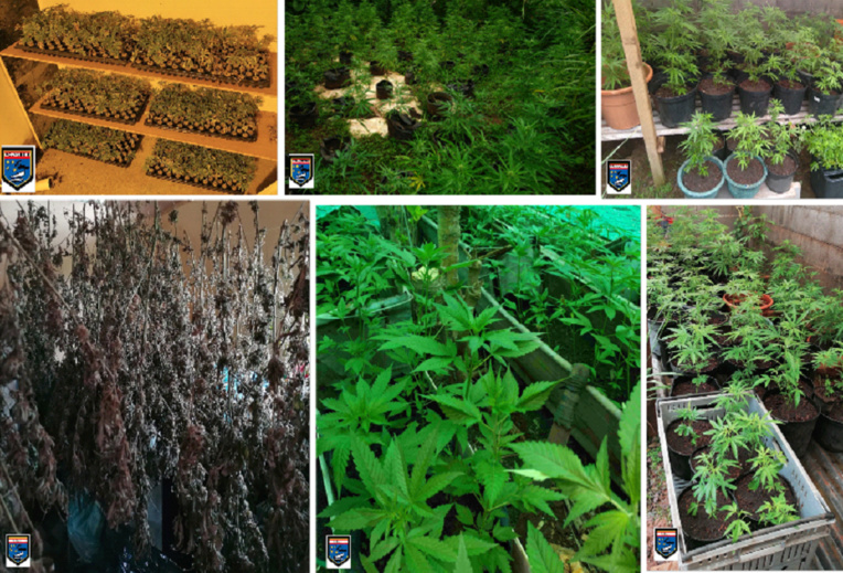 Saisie de 1 228 pieds de cannabis