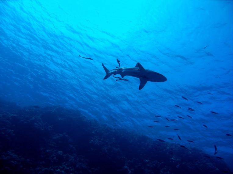 La Colombie interdira tout type de pêche au requin