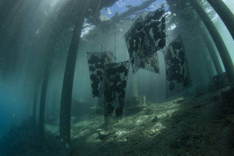Quand les huîtres perlières absorbent les microplastiques