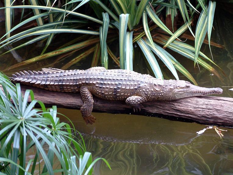 Le crocodile d'eau douce endémique du nord de l'Australie. Officiellement découvert par Robert Arthur Johnstone, il porte son nom : Crocodylus johnstoni.