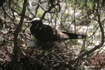 A part du poisson et des œufs d'oiseaux marins, les habitants de Tematangi n'avaient apparemment que très peu de ressources pour se nourrir.