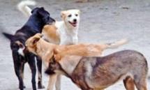 Chiens errants à Pago-Pago : un bataillon de vétérinaires américains à la rescousse