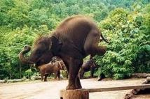 Le tourisme thaïlandais au coeur du trafic des éléphants d'Asie