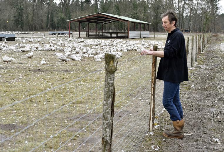 Grippe aviaire: des centaines de milliers de canards abattus ou en passe de l'être